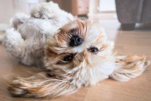 Strihanie psov Bratislava pre malé aj veľké psy